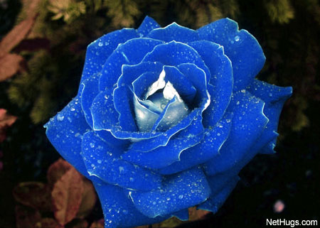 My Blue Rose to You