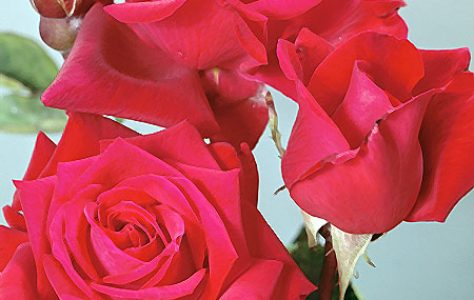 roses_red_2