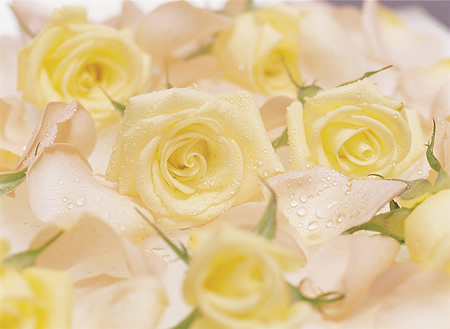 yellow_roses (1)