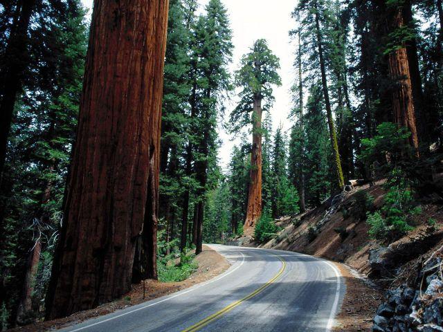 Enormous Sequoia Trees (22 pics)