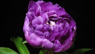 Timelapsed Blooming Flowers