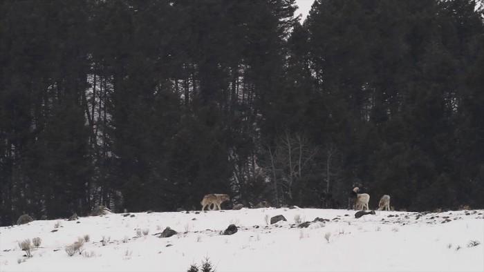 A Winter's Week in Yellowstone