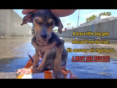 A Brave Little Dog Gets Rescued from the River