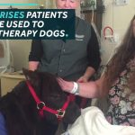 Adorable Mini Horse Helps Hospital Patients