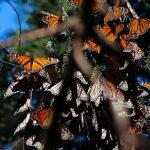 Millions of Migrating Monarch Butterflies