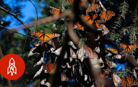 Monarchs-by-the-Millions-Welcome-to-Butterfly-Forest