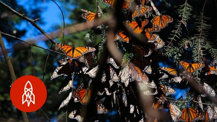Millions of Migrating Monarch Butterflies