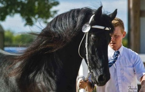 BLACK-PEARL-FRIESIANS-AT-TRAILS-END-FARM