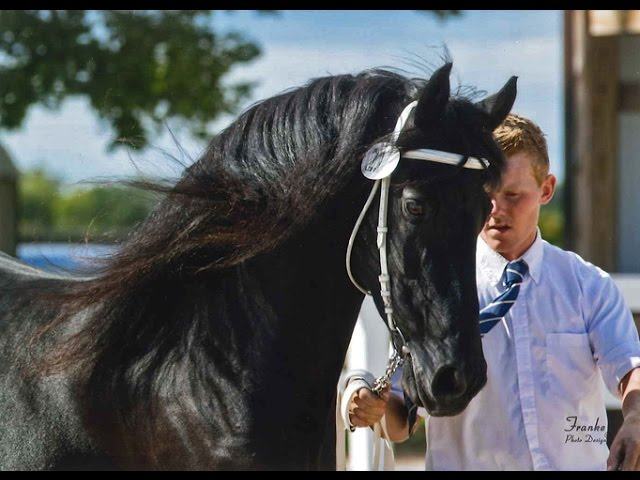 Black Pearl Friesians at Trails End Farm