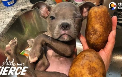 Tiniest-Puppy-Loves-His-Pack-Of-Pit-Bulls-The-Dodo-Little-But-Fierce