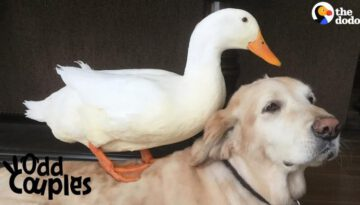Dog Is Completely Obsessed With His Duck Brother