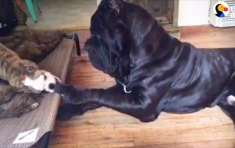 Huge Dog Is So Gentle With All His Siblings