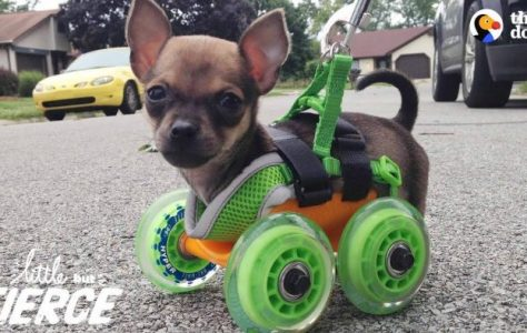 Tiniest Puppy Loves To Race Around On His Wheels