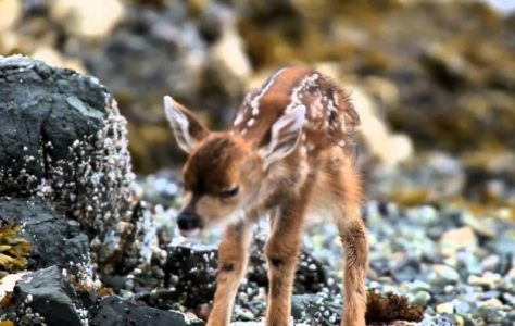 A Beautiful Fawn