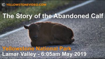 The Story of the Abandoned Bison Calf