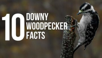 10 Fun Facts About Downy Woodpeckers
